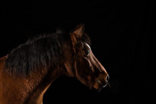 Fury pony portret fotografie met mobiele studio